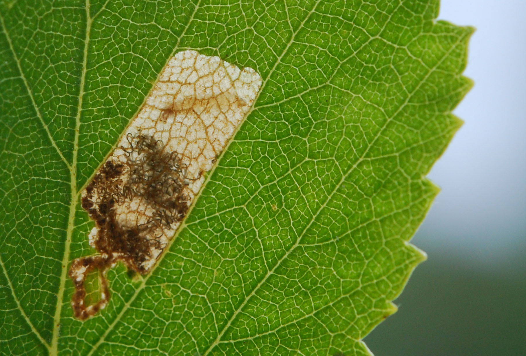 Insects on birch: leaf miners