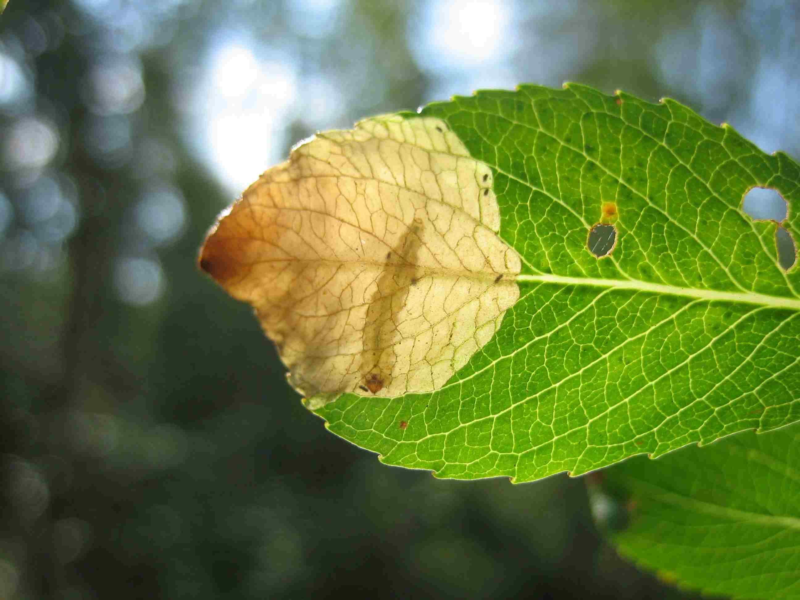 finnish leaf mining sawflies